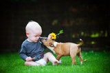 small boy playing with a bull terrier puppy