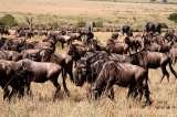 African safaris travel deals to see wildebeest migration in serengeti national park and ngorongoro crater. Tanzania safaris experts
