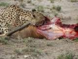 A cheetah feasting after killing a gazelle in Samburu National Reserve