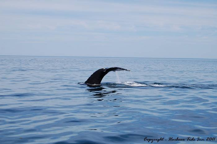 Well. there's one of the many North American Right Whales we see each season. Profile Photos of Harbour Tide Inn ~ Bed & Breakfast 725 Main Street - Photo 68 of 83