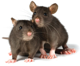 two little decorative rats on white background, Rapid Rodent Removal, Dallas