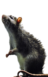 Rapid Rodent Removal, Dallas
