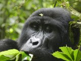 Gorillas in Uganda - up to ten day's safari!