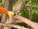 Pruning for tree maintenance in a wood ** Note: Visible grain at 100%, best at smaller sizes