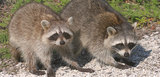 Wildlife Removal Services of First Choice Wildlife Services