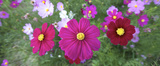 Cosmos (Cosmos bipinnatus) is an annual and perennial plant in the family Asteraceae native to scrub and meadow areas in Americas. They are herbaceous perennial plants.