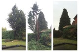 Two conifers, one removed.