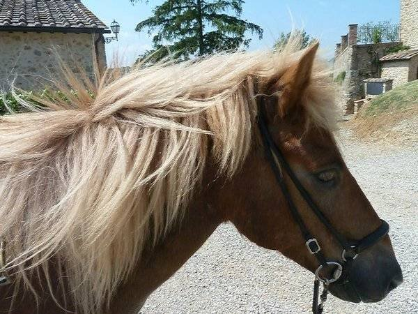 Our sweet Icelandic horses of Fattoria Voltrona Loc. San Donato - Photo 1 of 8