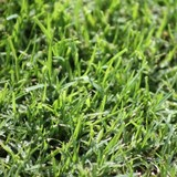 Atlas Turf Supplies Kikuyu Grass