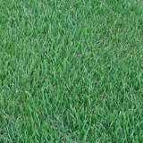 Atlas Turf Supplies Zoysia Grass