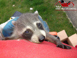 Use only knowledgeable humane wildlife removal methods that bring no harm to young wildlife.
