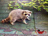 Once you get a raccoon inside of your roof, trust the professionals at AAA Sande Wildlife Control to resolve it quickly and effectively.