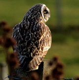 Brown short-eared owls hunts for Orkney voles on the property