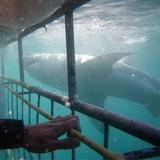 New Album of Great White Shark Tours