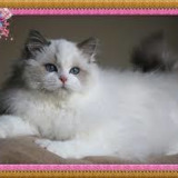 Beauty Ragdolls