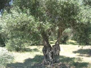 The Olive Grove Nursery, Palermo
