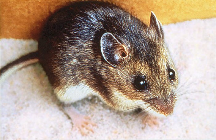 Brown Deer Mouse Profile Photos of Croach Pest Control 28 Boland Court, Unit 28 - Photo 3 of 12