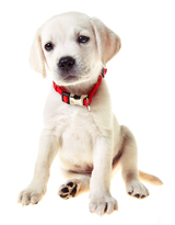 A cute 9 week old yellow lab puppy with a red collar isolated on white.